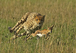 Gazelle Intensity
